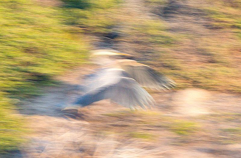 blurred heron