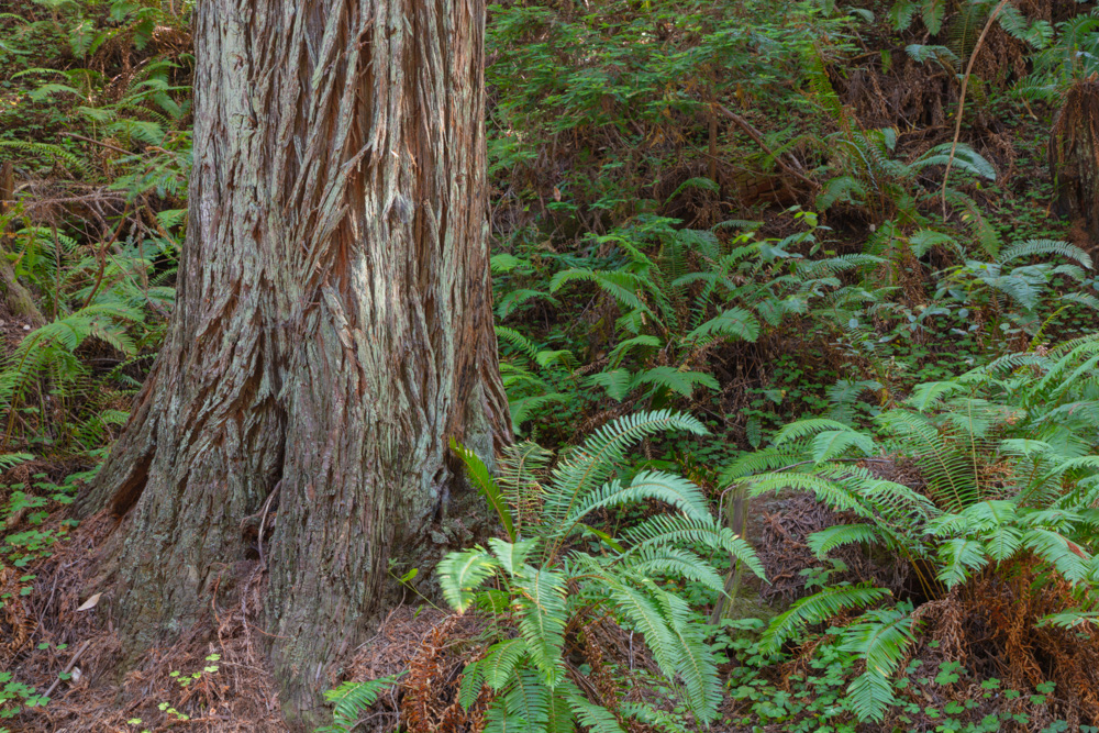 redwood and ferns