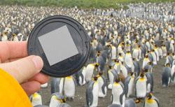 graycap penguin